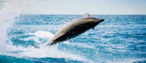 Interpretation du reve : Les dauphin